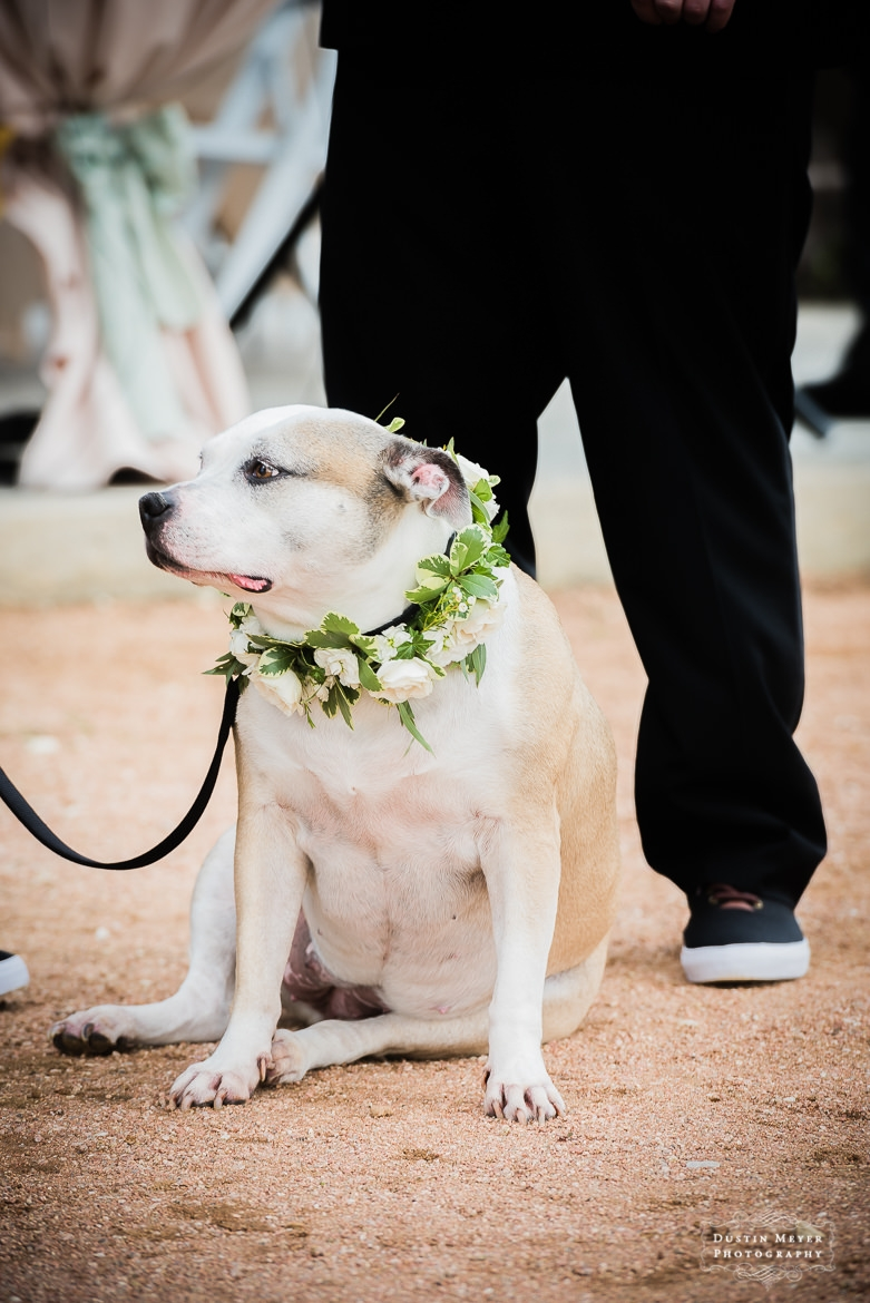 wedding dog collar, Austin Wedding Photographers, wedding ceremony, the vineyard at florence